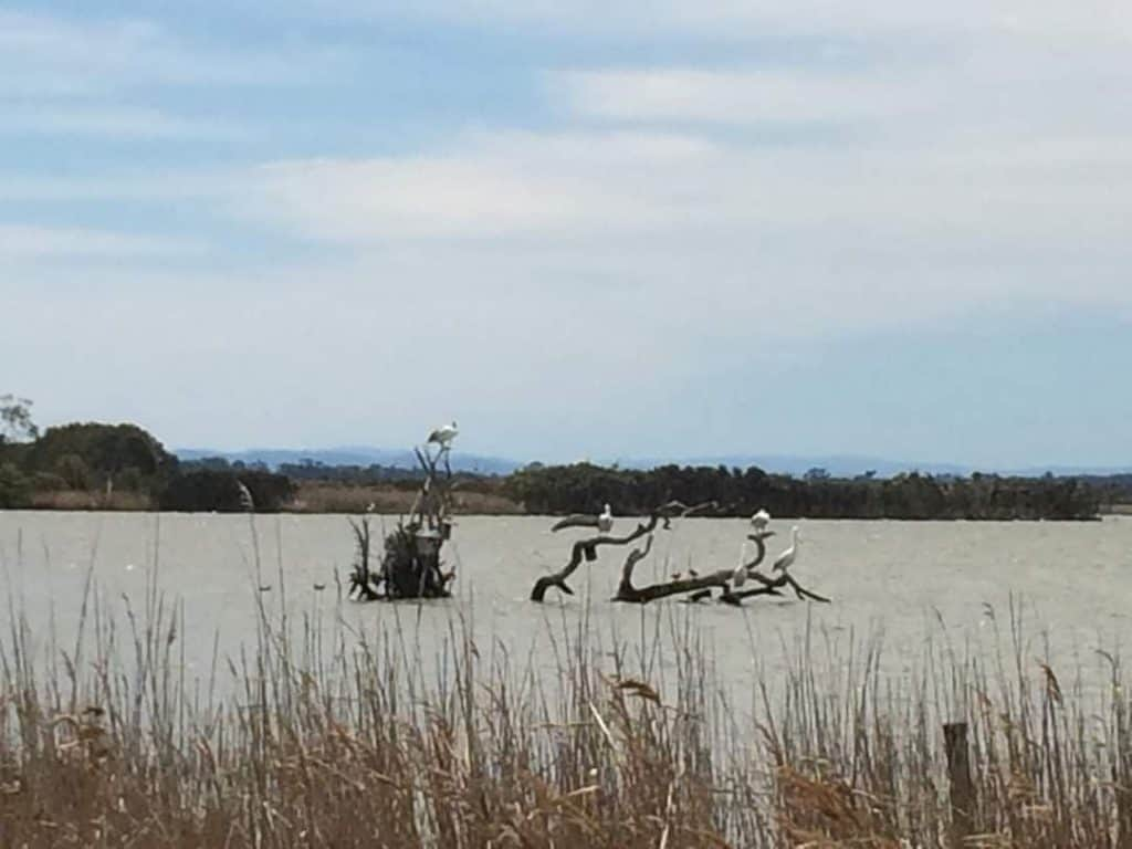 There are sine birds sitting on a dry log in Lake Wellington. It is a cloudy day and the reeds on the bank are dry