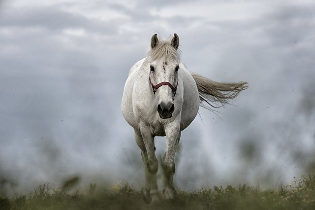 A white horse with a brown halter walks through the grass with mist behind it.