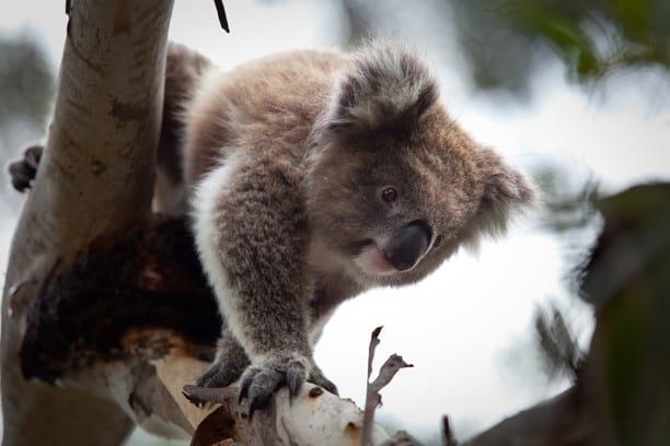 a koala in a tree