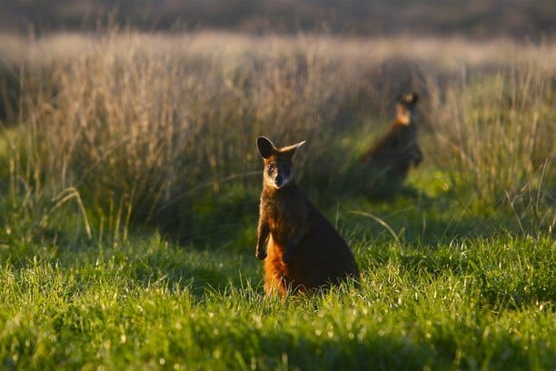 a wallaby standing in a green paddock of grass at sunset in Phillip Island